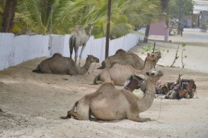 A small group of camels resting along a dirt road for tourist to come and take a ride in the small town of Niaga in Senegal